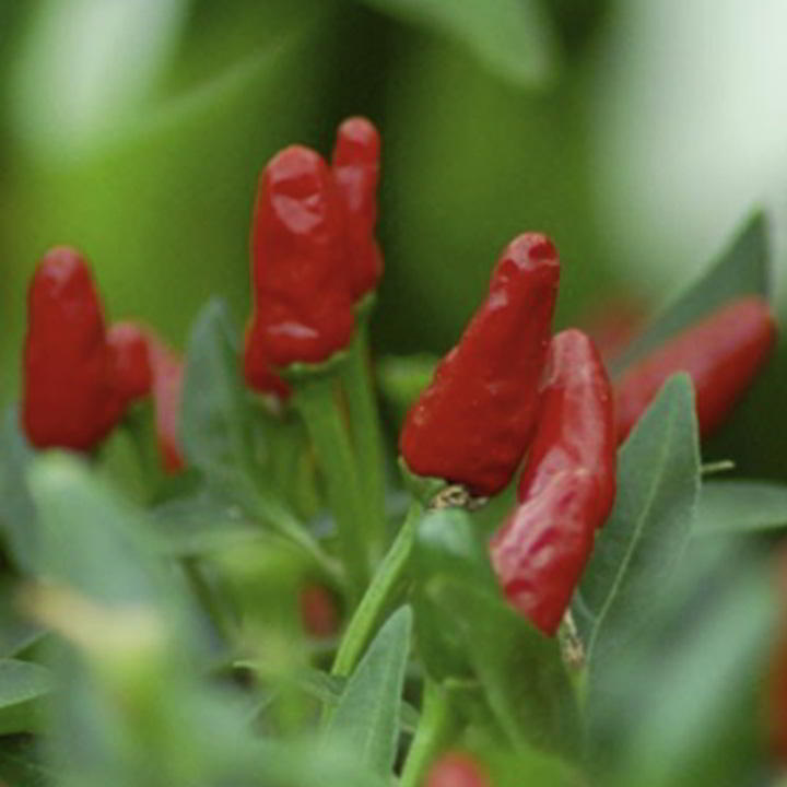 Pepper Chilli Seeds - Piri Piri