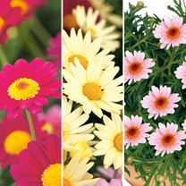 Argyranthemum Pretty Daisies Coll (6)