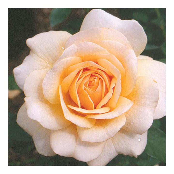 Rose Plant - Pure Gold