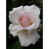 Stocky plants that excel for group planting and wonderful citrus perfume that's splendid for vase arrangements. Scent 10. Colour blush pink. Height 75