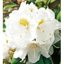 Rhododendron Plant - Porzellan
