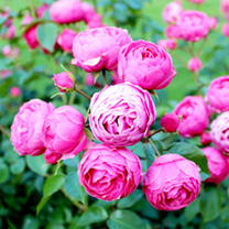 Rose Bare Root - Pomponella