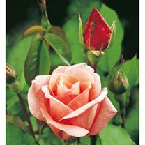 Rose Plant - Blessings