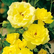 Rose Plant - Koressia