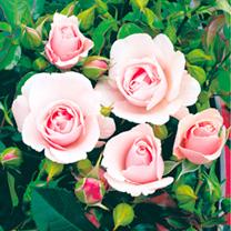 Rose Plant - Many Happy Returns