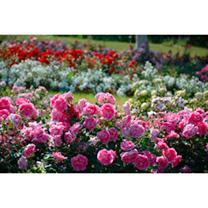 Rose Super Selection 6 Varieties Br