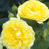 Rose Plant - Absolutely Fabulous