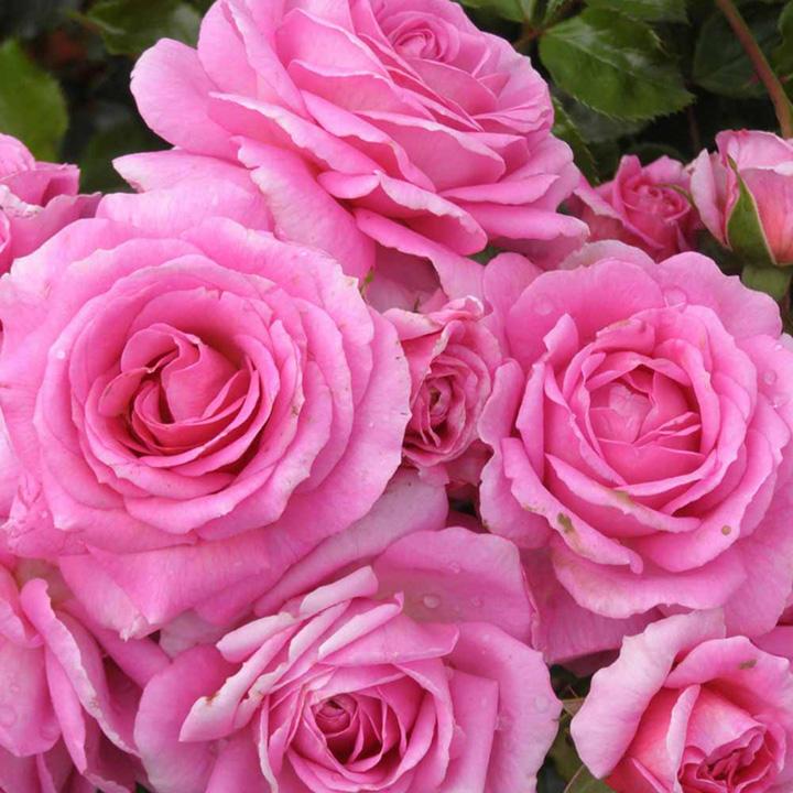 Rose Plant - Celebrating Life
