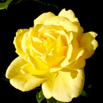 Rose Plant - Golden Wedding