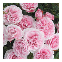 Rose Plant - Rossetti