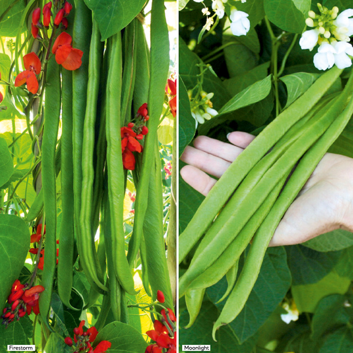 Bean Runner Self-Fertile Plants - Twin Pack