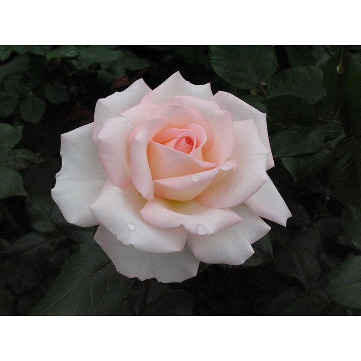 Rose Plant Bloom Of Ruth View All Flower Plants