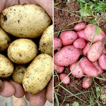 Seed Potatoes - Sarpo Twin Pack