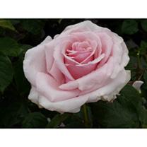 Rose Plant - Savoy Hotel