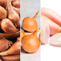 Shallot Bulbs - Triple Pack