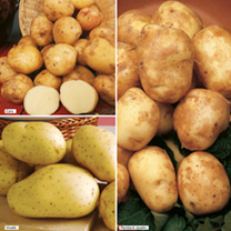 Seed Potatoes - Smaller Garden Collection 240684