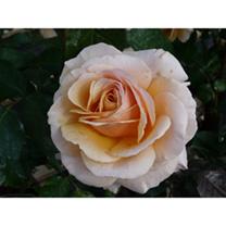 Rose Plant - Sue Hipkin