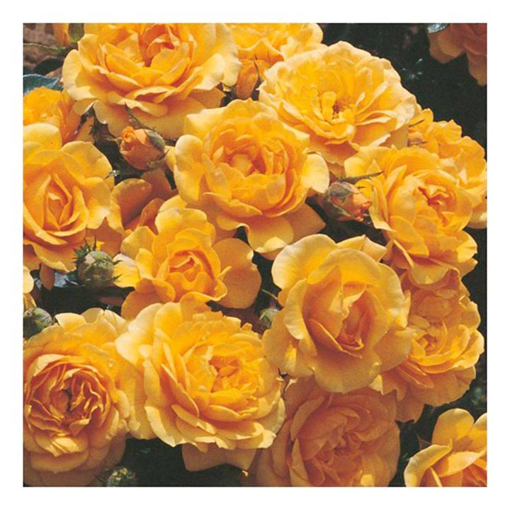 Rose Plant - Suncharm