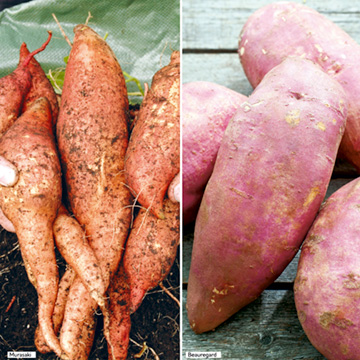 Sweet Potato Plants - Twin Pack