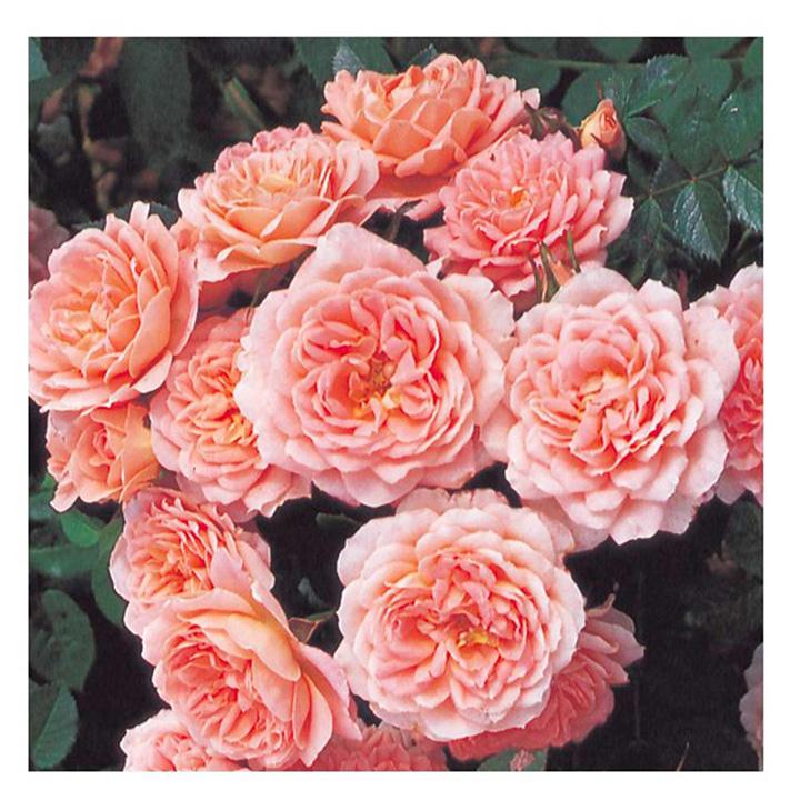 Rose Plant - Sweet Dream