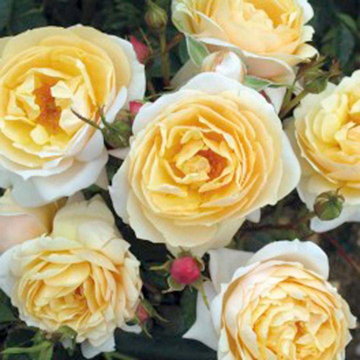 Rose Plant - Virginia McKenna