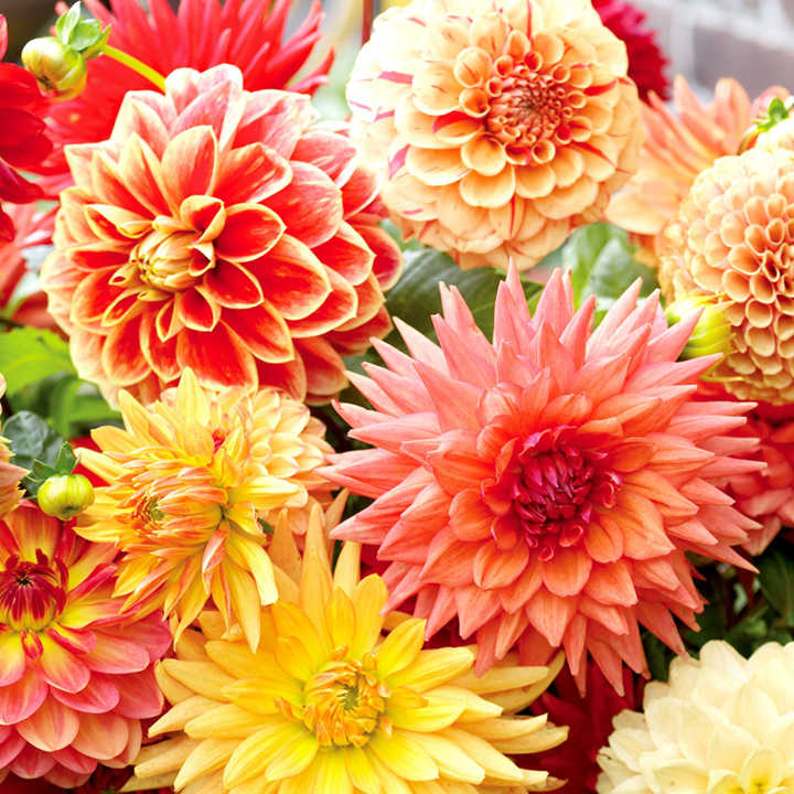 Dahlia Tubers - Orange/Salmon Mix