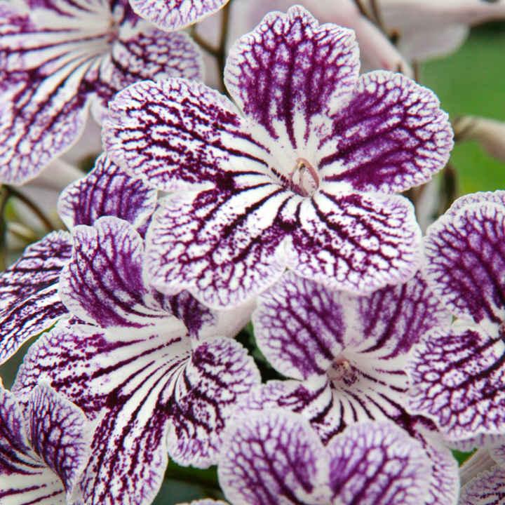 Streptocarpus Plant - Polka Dot Purple
