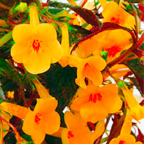 Achimenes Plant - Yellow Beauty