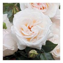 Rose Plant - York Minster