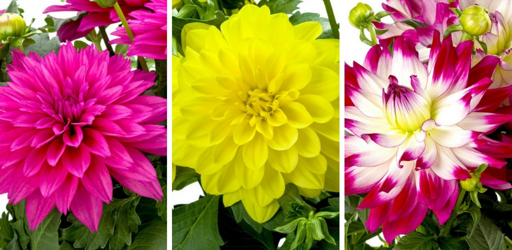 Check out our 3 for 2 Dahlias!