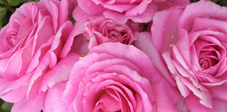 Buy 3 roses and get a free Harkeness rose