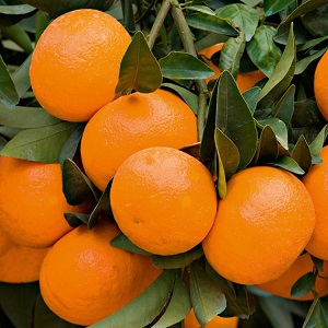 View our Citrus Plants