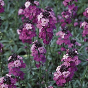 View our amazing offer on Erysimum Plants