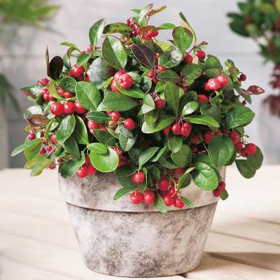 christmas plants - buy any 2 for £22