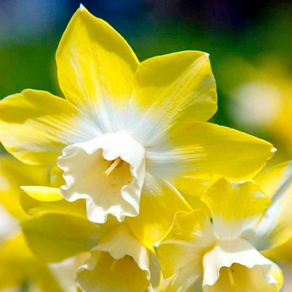 View our Miniature Daffodil Collection