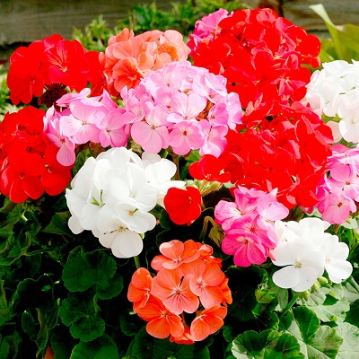 Save 58% on geranium plants