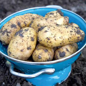 View our Late Season Potatoes
