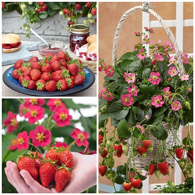 Strawberry Plants Collection