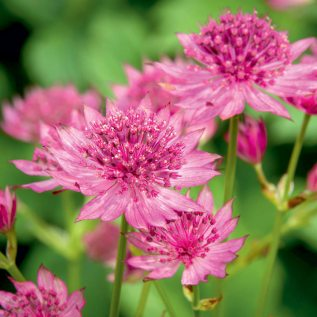 View our Amazing range of Perennial Borders