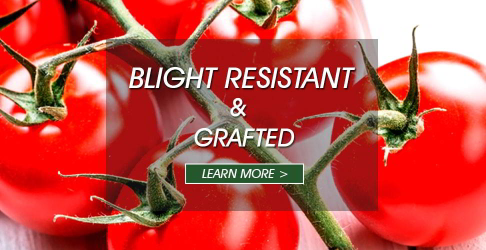 grafted crimson tomato
