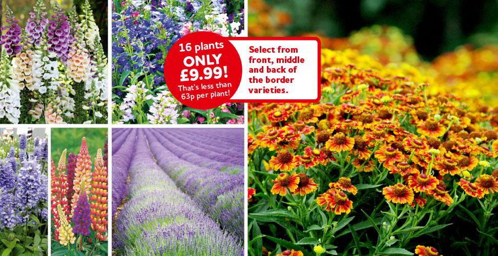 perennial border plug plants