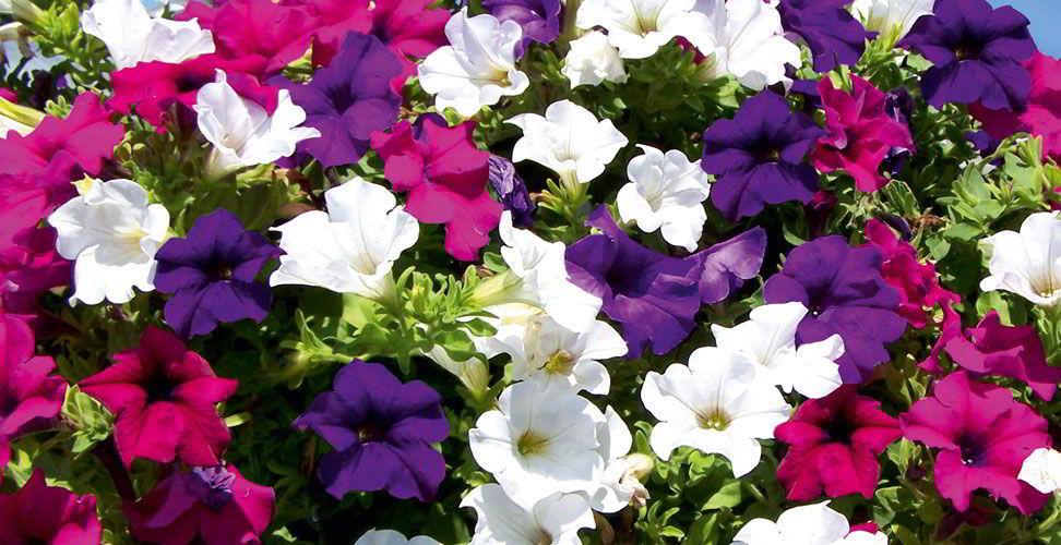 petunia plants