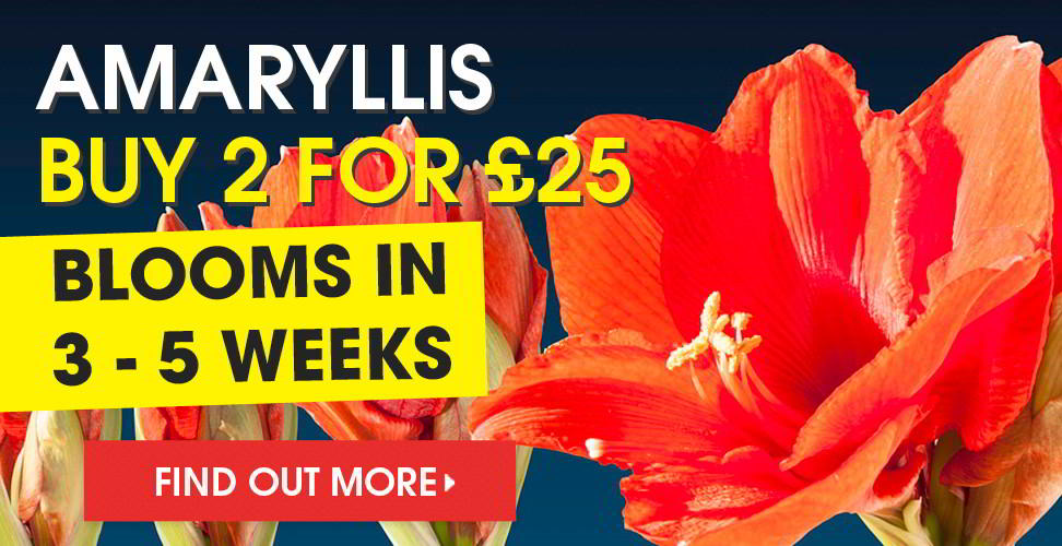 view our range of amaryllis bulbs