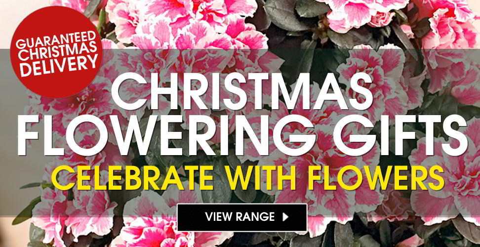 christmas flowering gifts