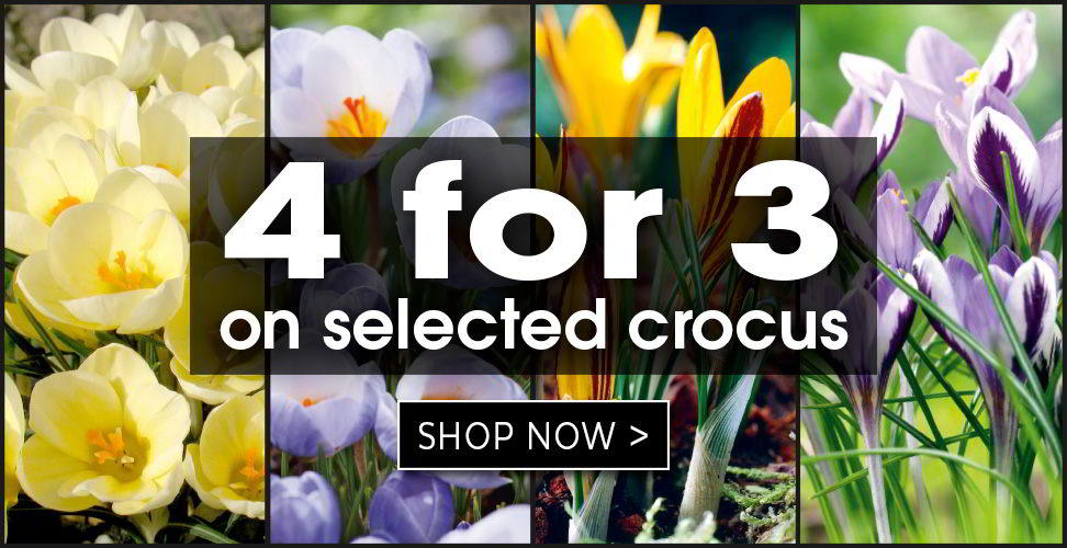 4 for 3 on selected crocus