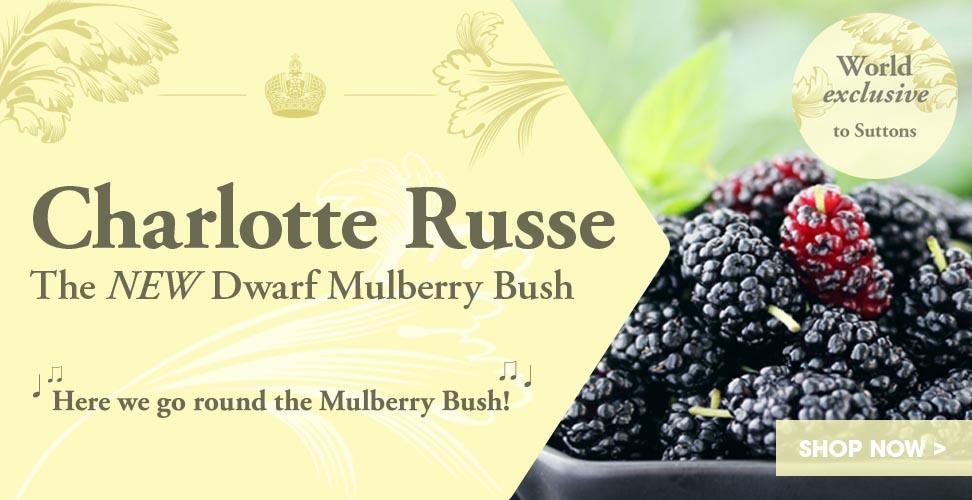View our amazing Dwarf Mulberry Bush