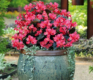 View our amazing range of super-sized Bedding Plants