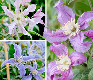 Clematis Plants - Amazing Collection