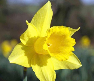 View our Daffodil Collection