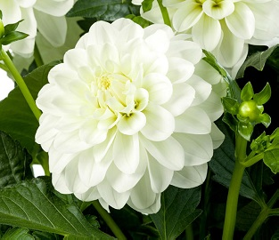 View our beautiful new Dahlias